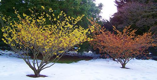 гамамелис зимой