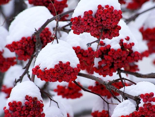 рябина в зимнем саду