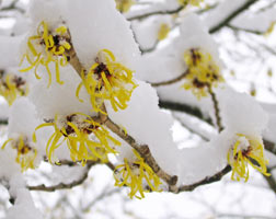 химонант зимой